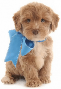 Brown Yorkie-Poo with blue bow to compliment the about hopeful dreams family puppies page.