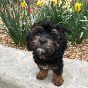 fluffy black and brown puppy