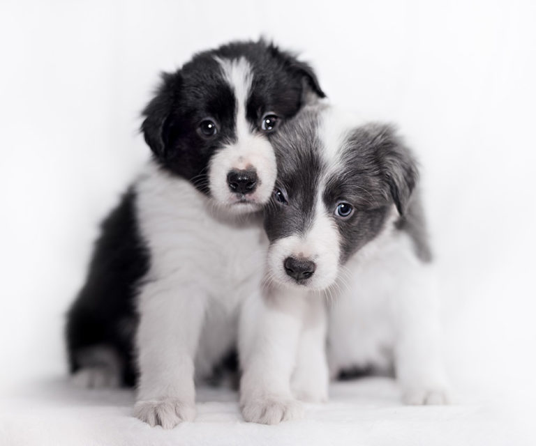Two Border Collie puppies snuggling.