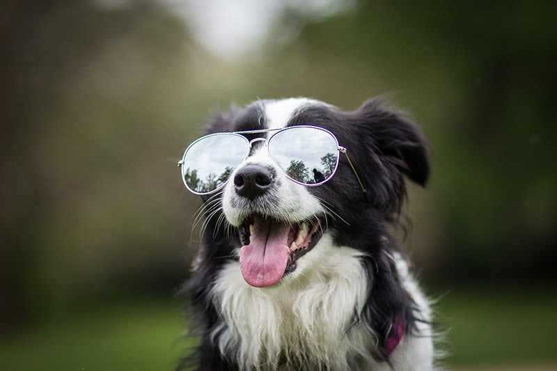 cute collie with glasses