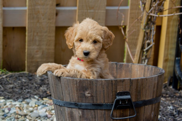 Mini Goldendoodle in a Bucket