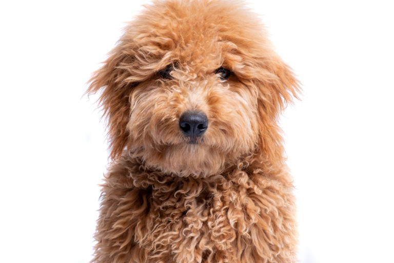 Mini Goldendoodle puppy sitting.