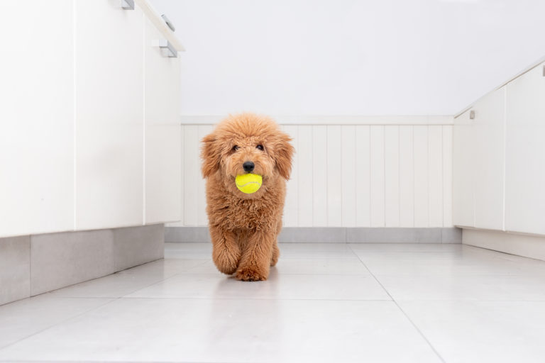 Mini Goldendoodle with ball in mouth