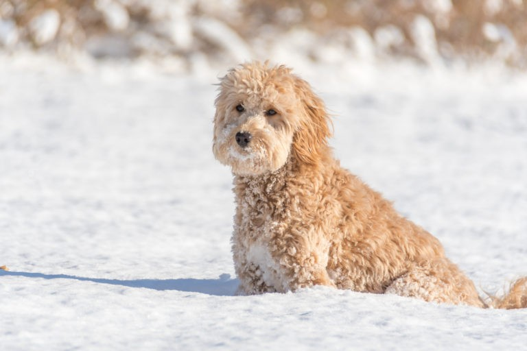 Mini Goldendoodle in snow.