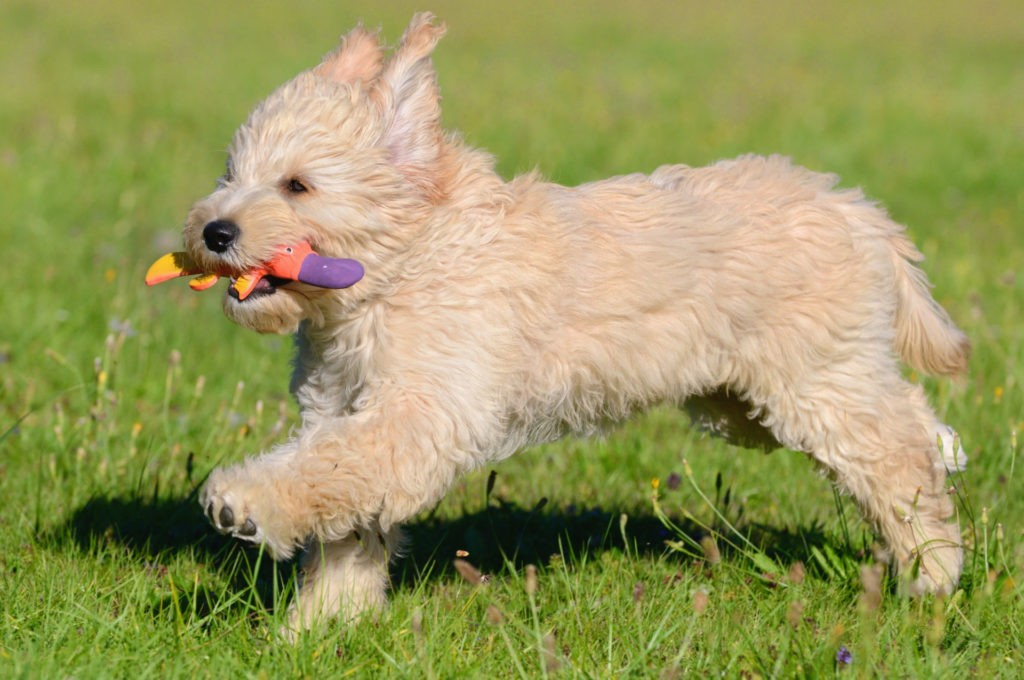 Goldendoodle Puppy Running.