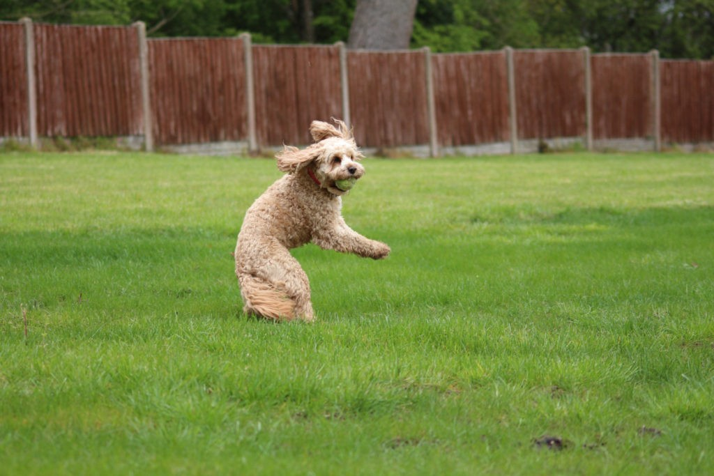 Cavapoo Catching A Ball.