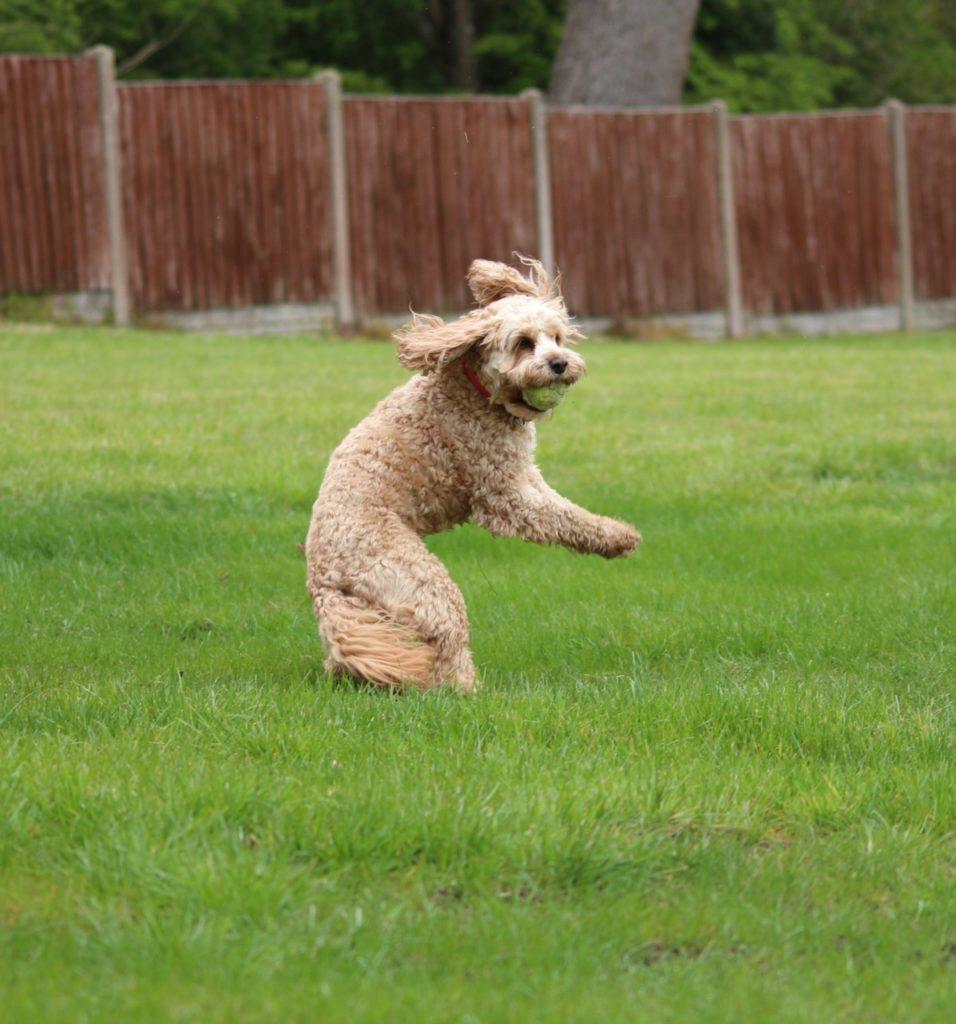 Cavapoo Dog Catching A Ball.