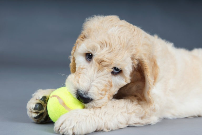 Goldendoodle Puppy With Ball.