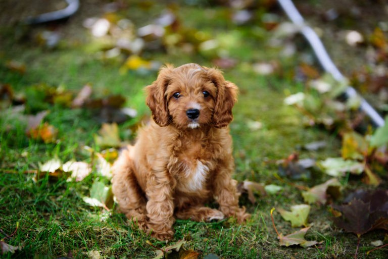 Cavapoo puppies for sale.