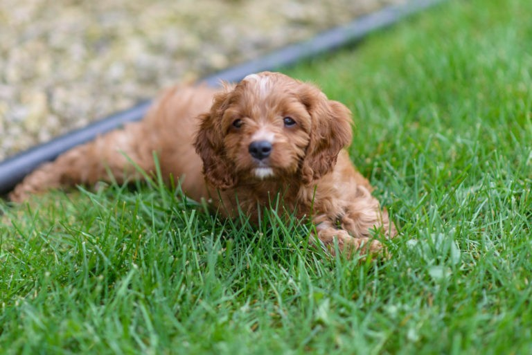 Cavapoo Laying Down.