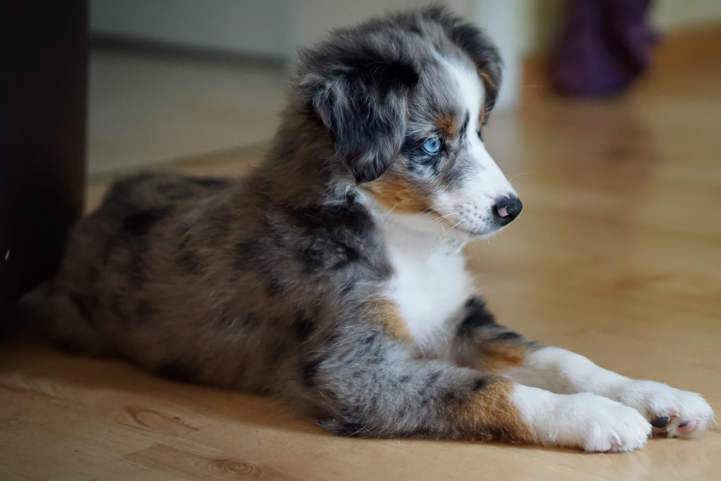 Miniature Australian Shepherd Pup