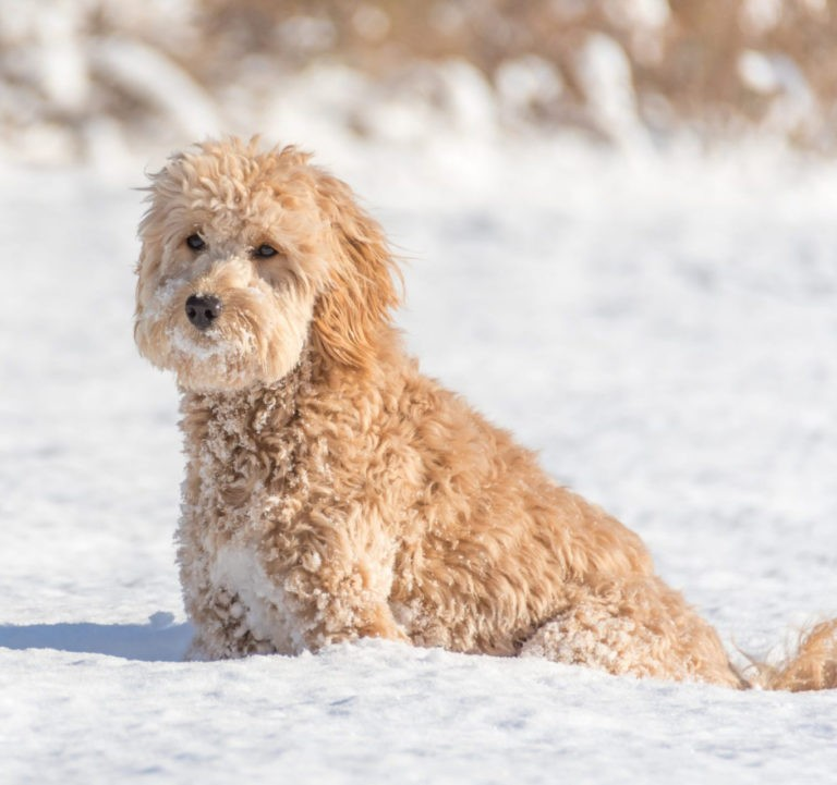 goldendoodle dog in snow